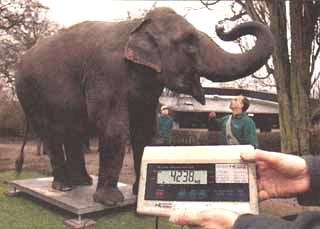Tierwaage Elefant
